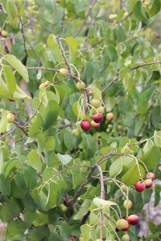 Prunus ilicifolia. Photo: Devil Mountain Wholesale Nursery.