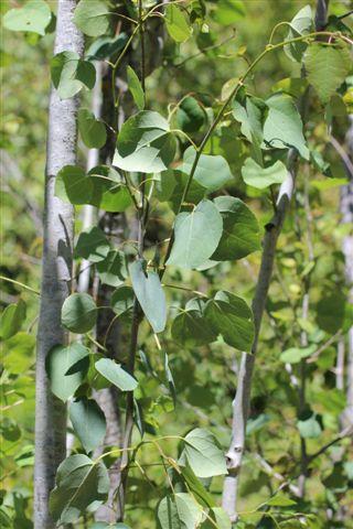 Populus tremuloides. Photo: Devil Mountain Wholesale Nursery.