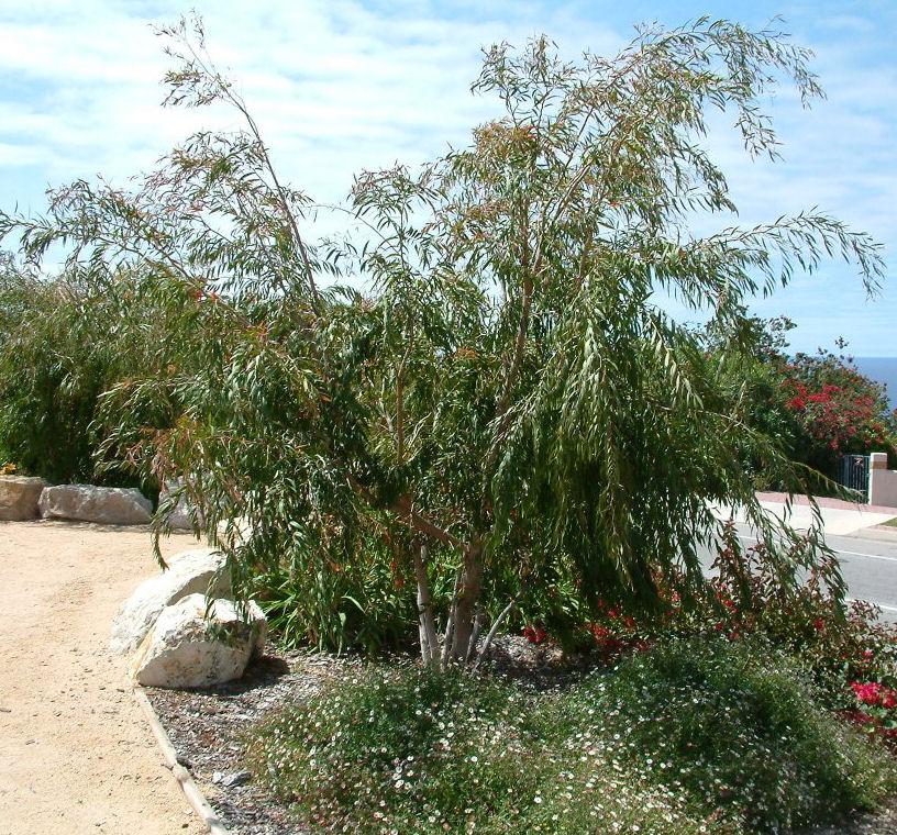 Agonis flexuosa. Photo: Plant Master.