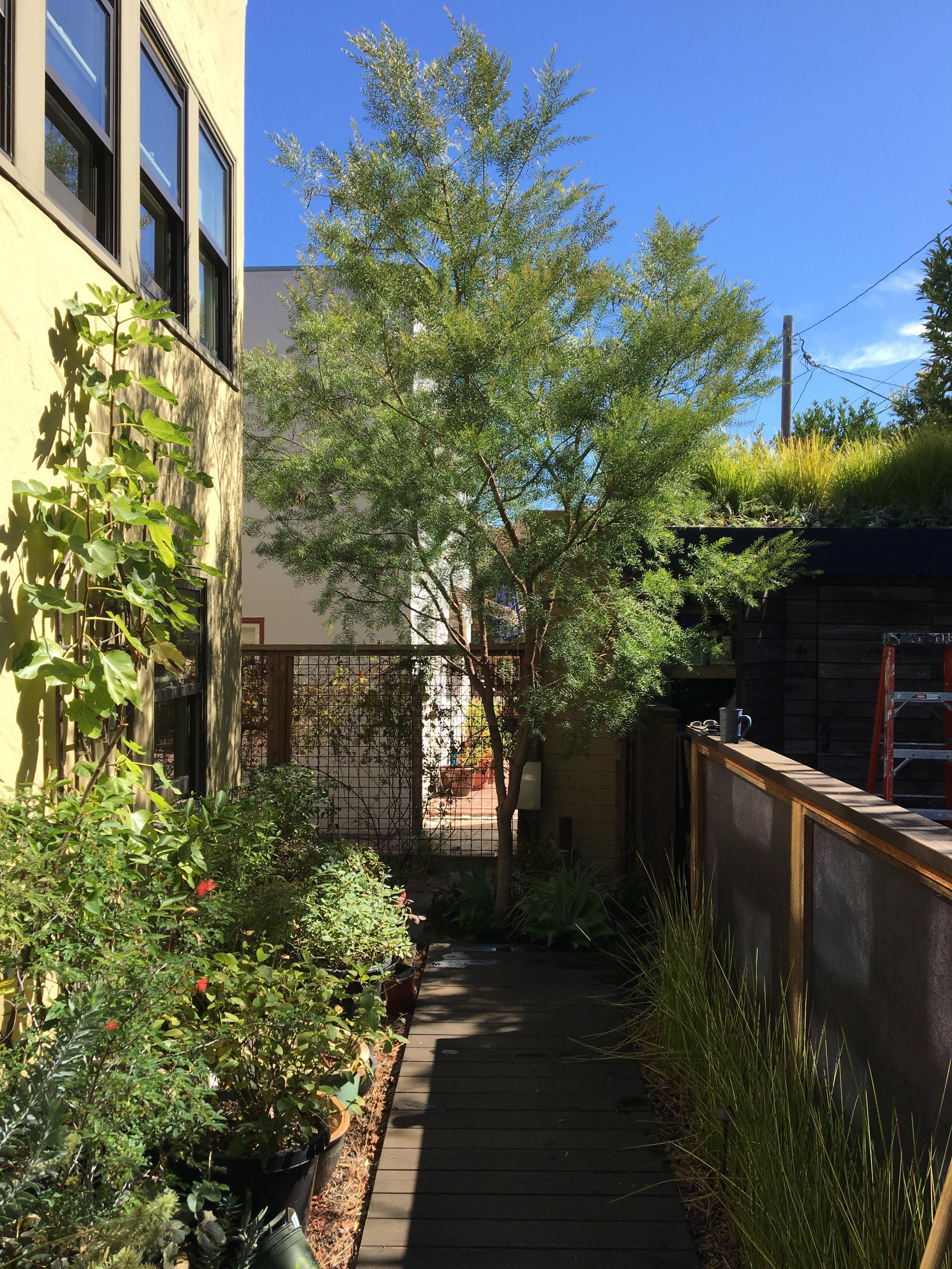 Acacia fimbriata. Photo: Mary Fisher.
