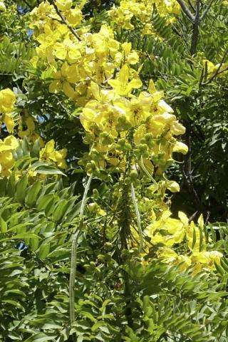 Cassia leptophylla. Photo: Devil Mountain Wholesale Nursery.