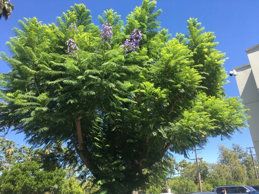 Jacaranda mimosifolia. Photo: Francesca Corra.