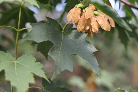 Acer rubrum 'October Glory'. Photo: Devil Mountain Wholesale Nursery.