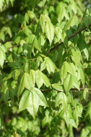 Acer buergerianum. Photo: Devil Mountain Wholesale Nursery.