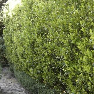 Prunus caroliniana. Photo: Devil Mountain Wholesale Nursery.