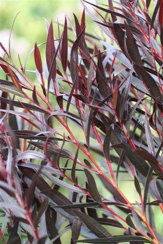 Agonis flexuosa 'Burgundy'. Photo: Devil Mountain Wholesale Nursery.