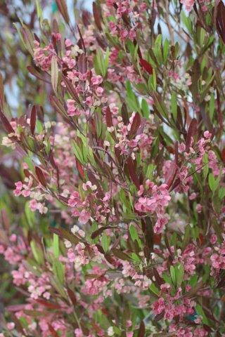Dodonaea viscosa 'Purpurea'. Photo: Devil Mountain Wholesale Nursery.