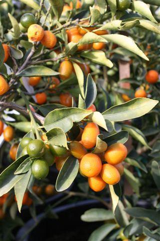 Fortunella margarita. Photo: Devil Mountain Wholesale Nursery.