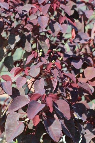 Euphorbia cotinifolia. Photo: Devil Mountain Wholesale Nursery.