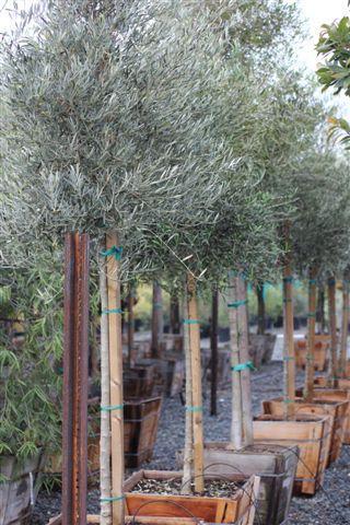 Olea europaea 'Majestic Beauty'. Photo: Devil Mountain Wholesale Nursery.