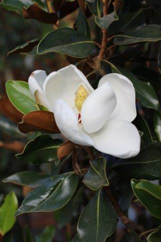 Magnolia grandiflora 'Little Gem'. Photo: Devil Mountain Wholesale Nursery.