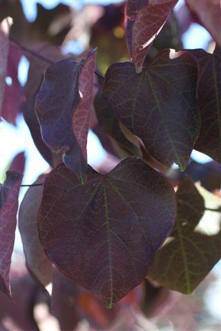 Cercis canadensis 'Forest Pansy'. Photo: Devil Mountain Wholesale Nursery.