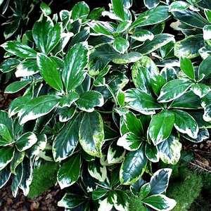 Corynocarpus laevigatus 'Variegatus'. Photo: San Marcos Growers.