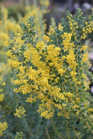 Acacia cultriformis. Photo: Devil Mountain Wholesale Nursery.