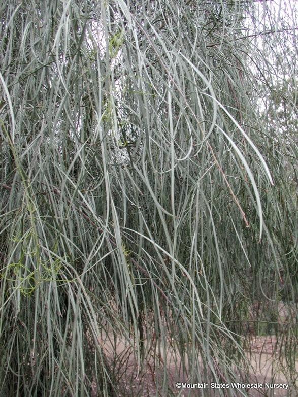 Acacia stenophylla. Photo: Mountain States Wholesale Nursery.