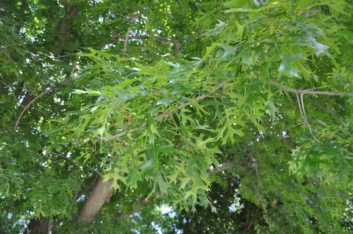 Quercus palustris. Photo: Plant Master.