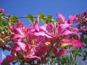 Bauhinia variegata. Photo: Village Nursery.