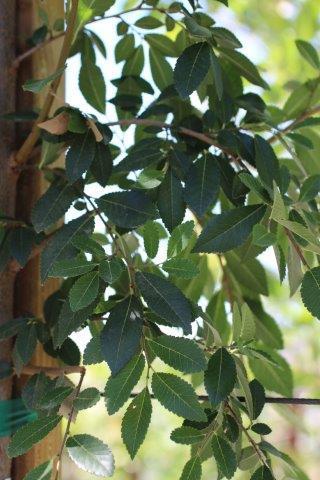 Ulmus parvifolia 'Drake'. Photo: Devil Mountain Wholesale Nursery.