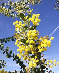 Acacia podalyriifolia. Photo: San Marcos Growers.