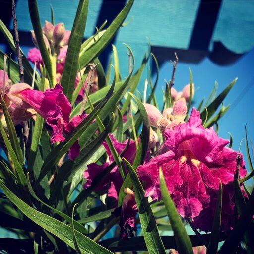 Chilopsis linearis 'Bubba'. Photo: Francesca Corra.