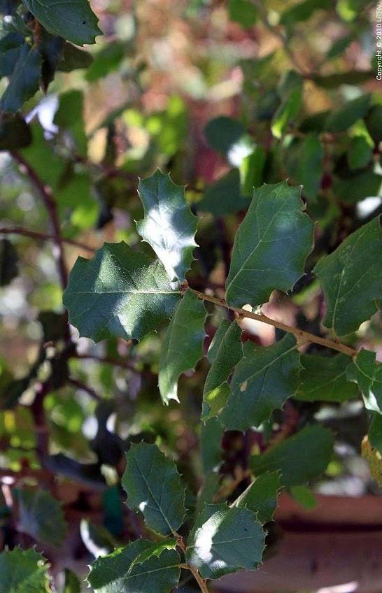 Quercus agrifolia. Photo: Urban Tree Farm Nursery.