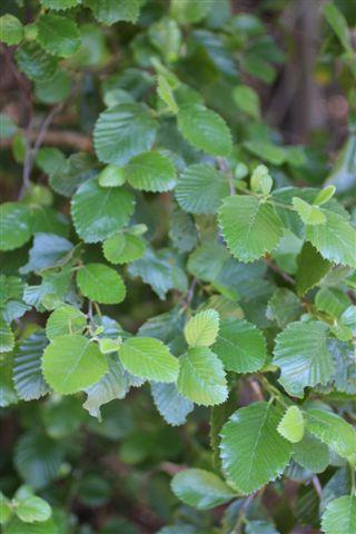 Cercocarpus betuliodes. Photo: Devil Mountain Wholesale Nursery.