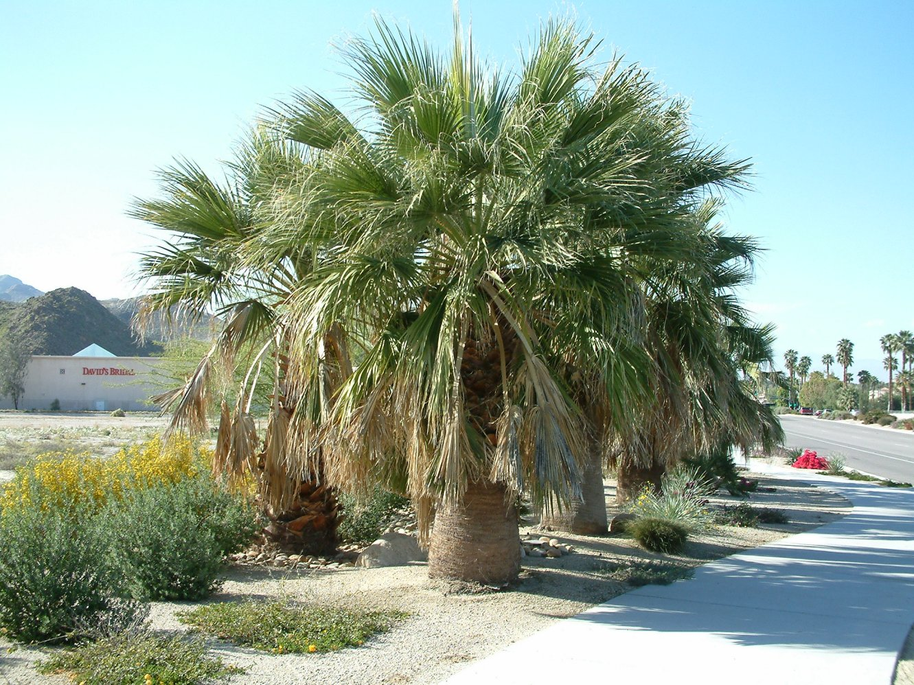 Washingtonia filifera. Photo: Plant Master.