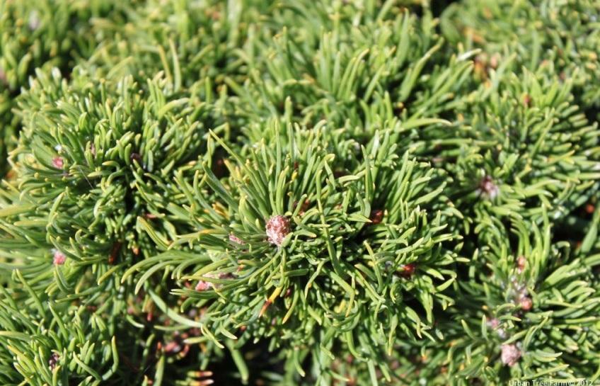 Pinus mugo mugo. Photo: Urban Tree Farm Nursery.