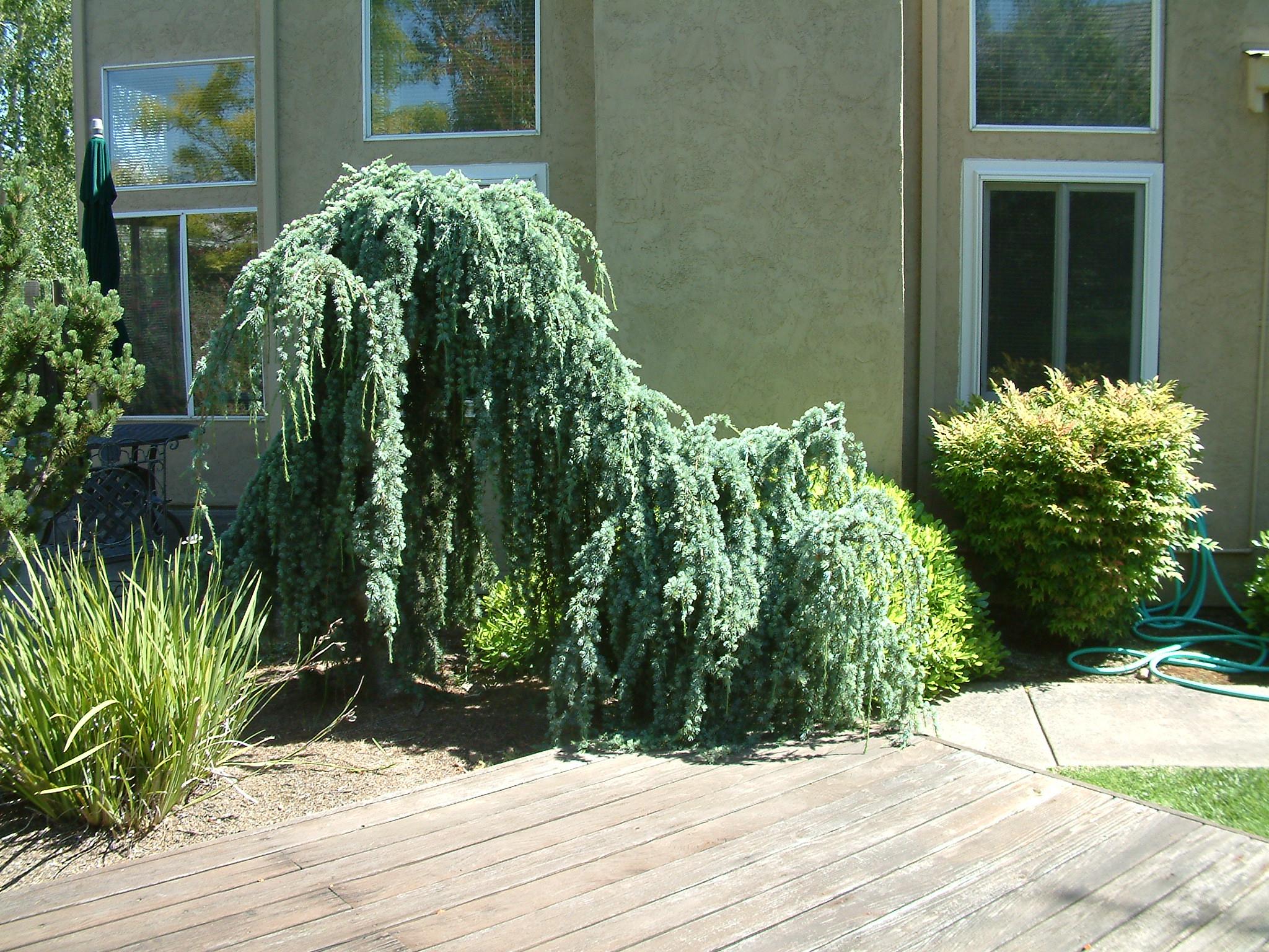 Cedrus atlantica 'Glauca'. Photo: Plant Master.
