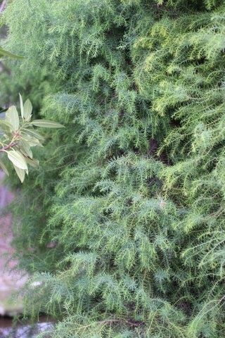 Cryptomeria japonica. Photo: Devil Mountain Wholesale Nursery.