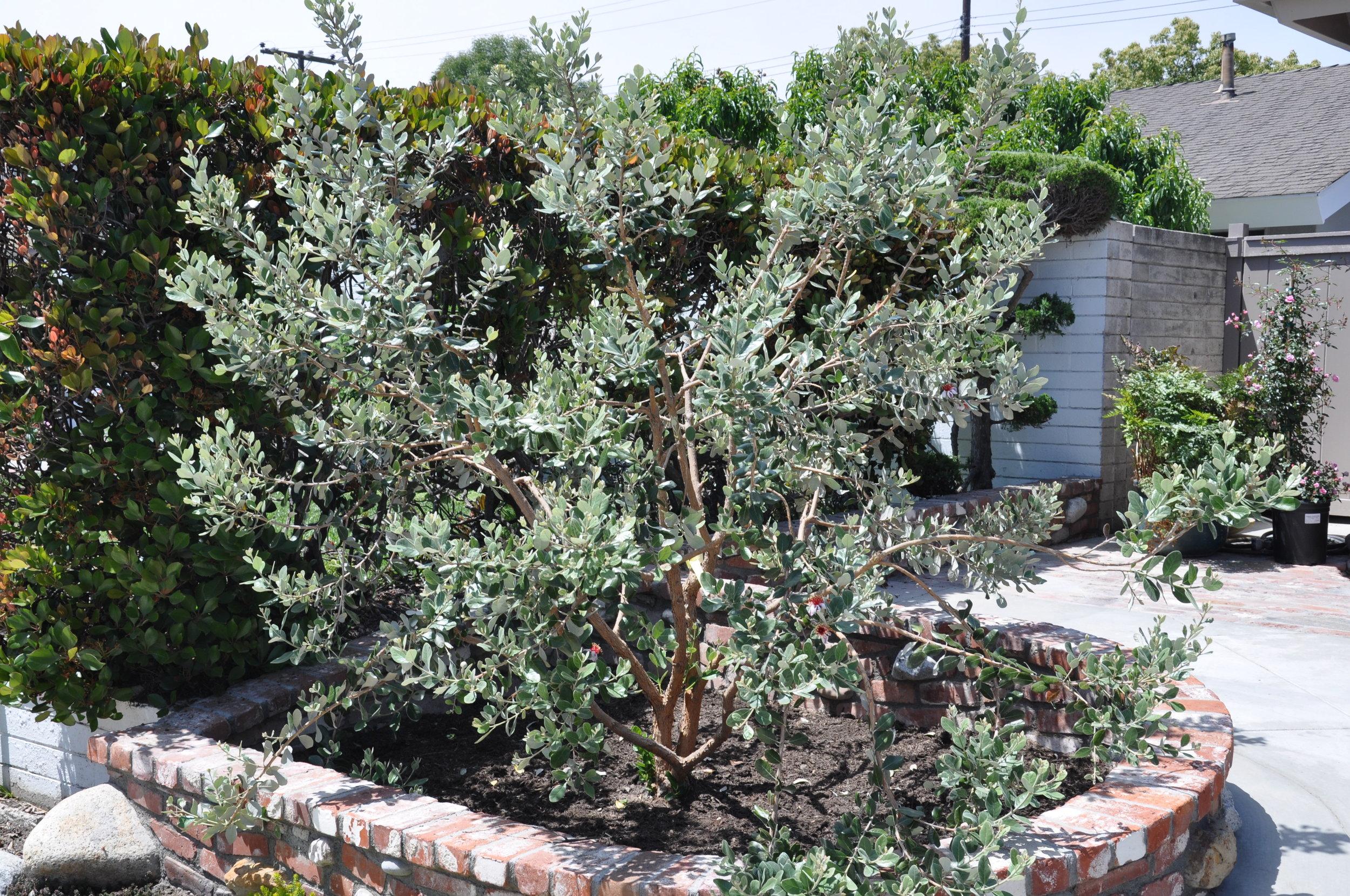 Feijoa (Acca) sellowiana. Photo: Plant Master.