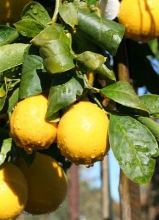 Citrus limon. Photo: Devil Mountain Wholesale Nursery.