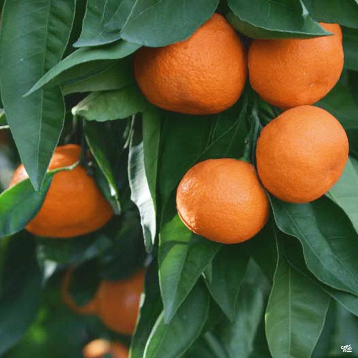 Citrus reticulata. Photo: Green Acres Nursery.