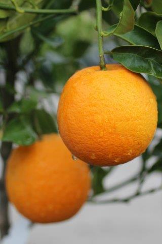 Citrus sinensis. Photo: Devil Mountain Wholesale Nursery.