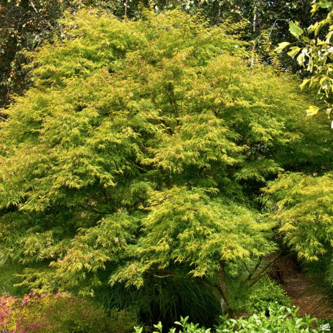 Acer palmatum var. dissectum. Photo: Green Acres Nursery.