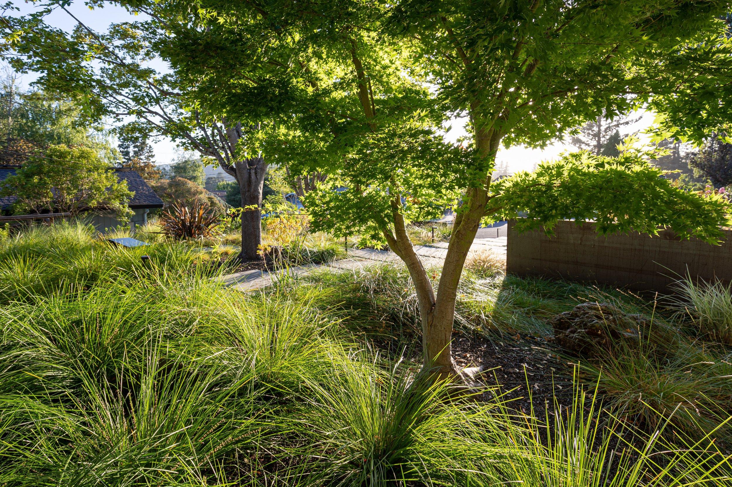 Acer palmatum cvs. Photo: Jude Parkinson Morgan.