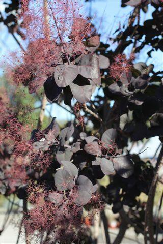 Cotinus coggygria. Photo: Devil Mountain Wholesale Nursery.