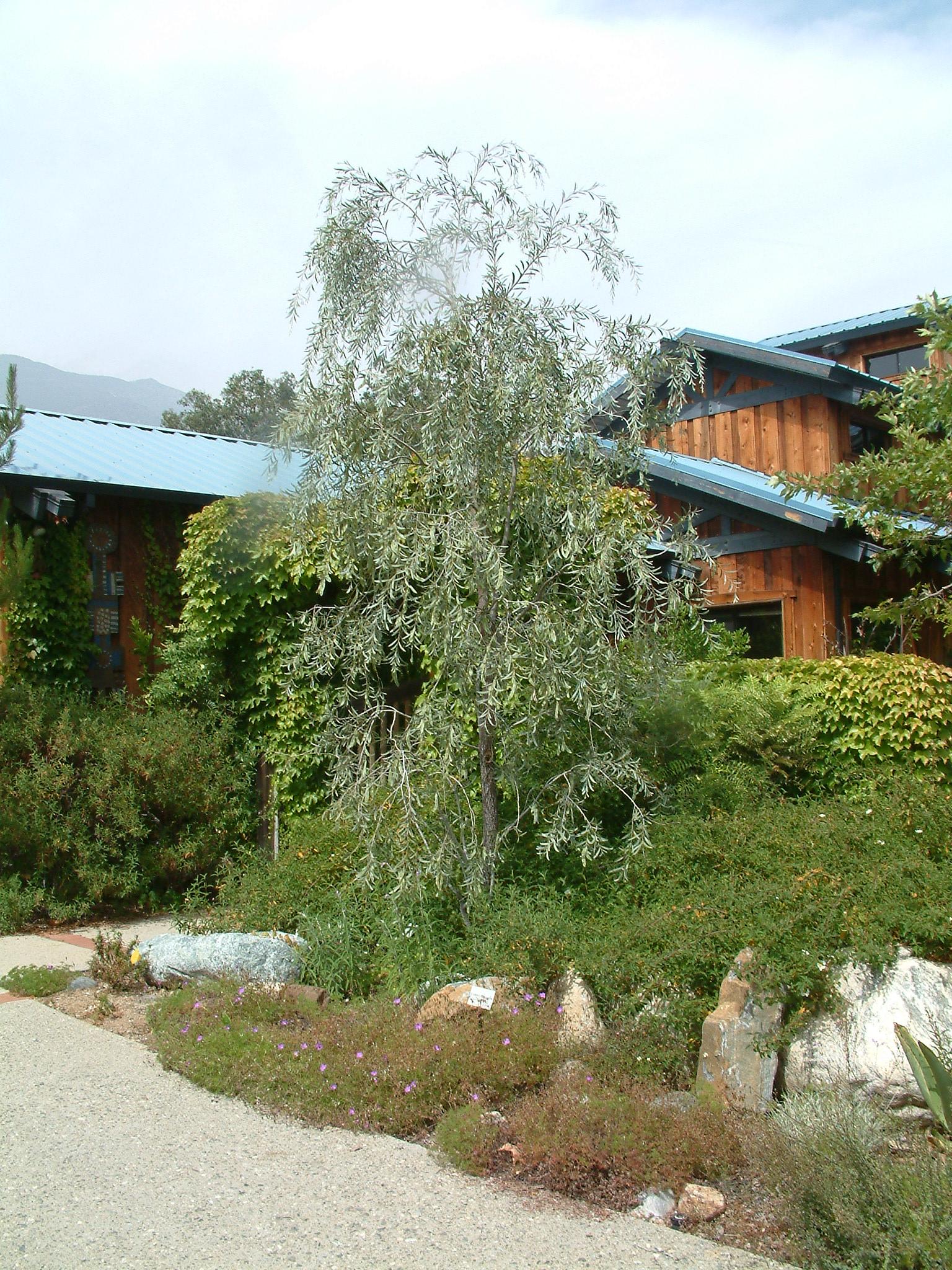 Acacia pendula. Photo: Plant Master.