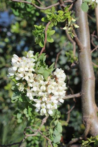Robinia pseudoacacia 'Lace Lady'. Photo: Devil Mountain Wholesale Nursery.