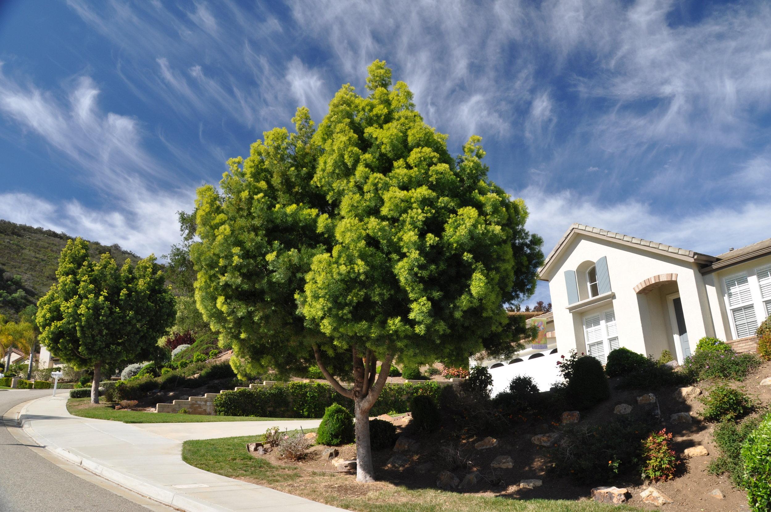 Afrocarpus gracilior. Photo: Plant Master.