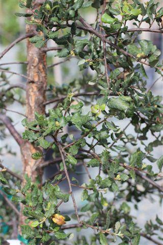 Quercus suber. Photo: Devil Mountain Wholesale Nursery.