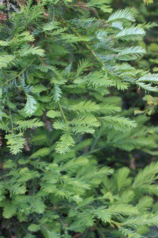 Sequoia sempervirens. Photo: Devil Mountain Wholesale Nursery.
