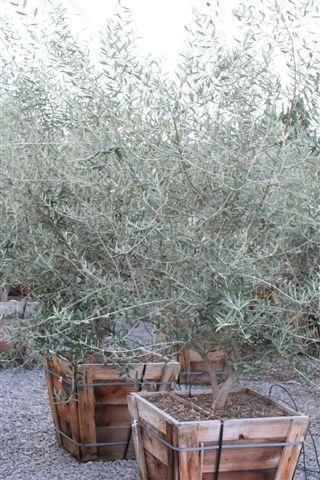 Olea europaea. Photo: Devil Mountain Wholesale Nursery.