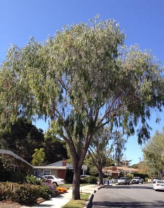Geijera parviflora. Photo: San Marcos Growers.