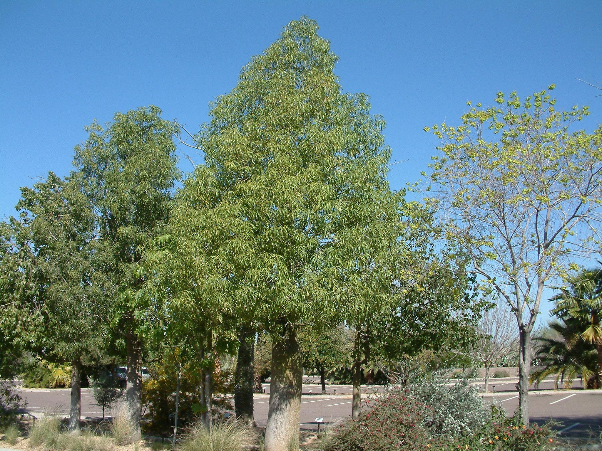 Brachychiton rupestris. Photo: Plant Master.