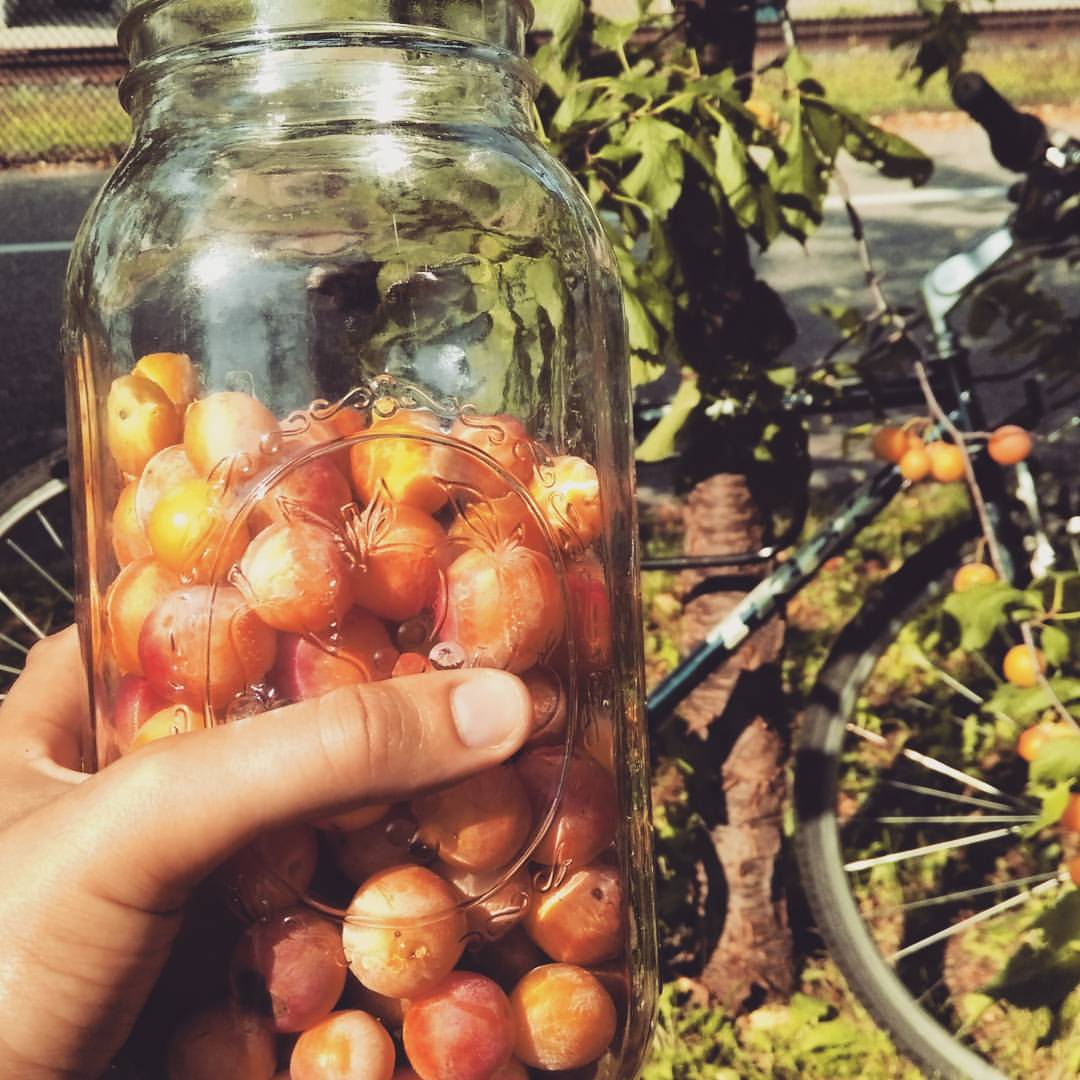 Harvesting wild plums along the Midtown Greenway