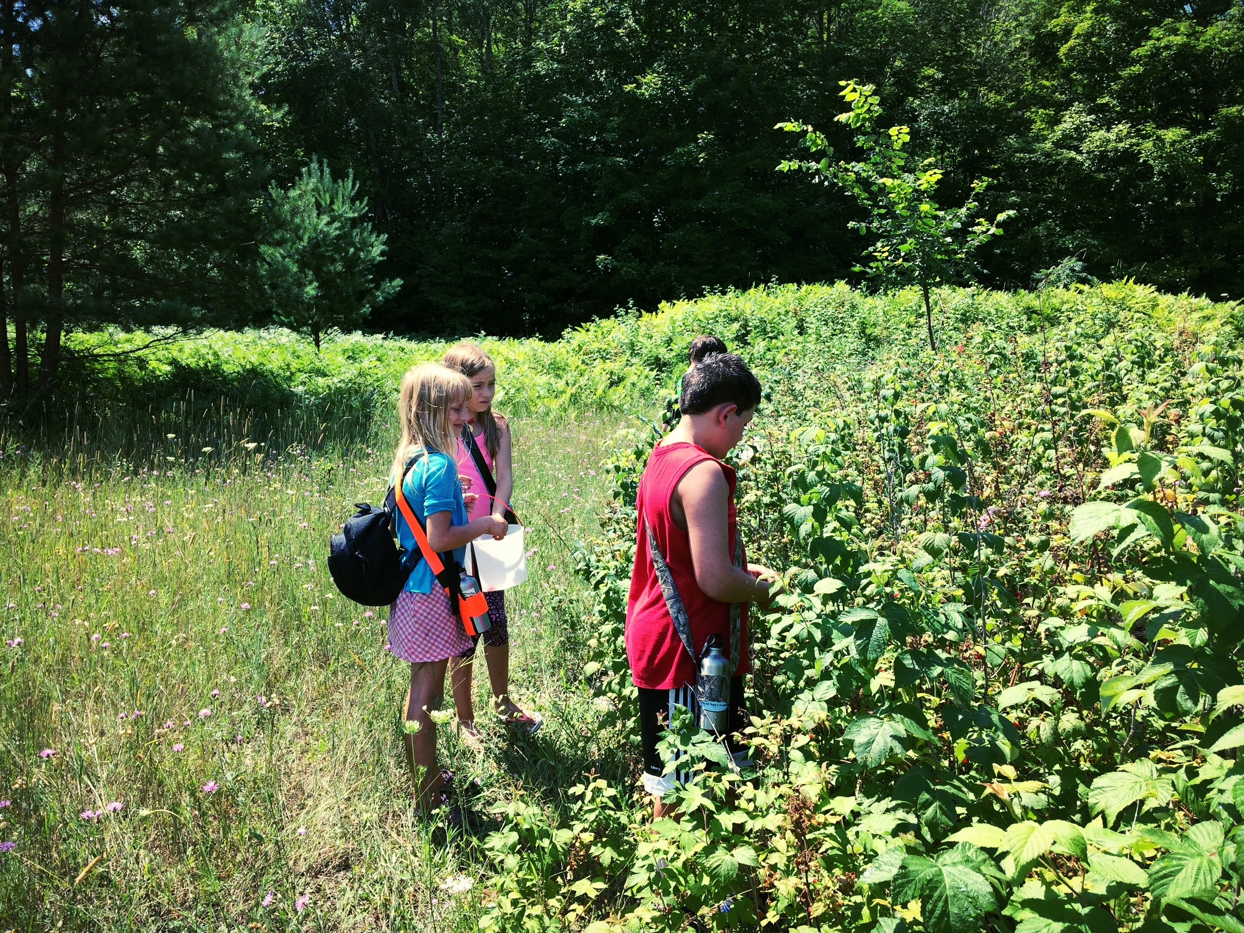 Young foragers picking raspberries