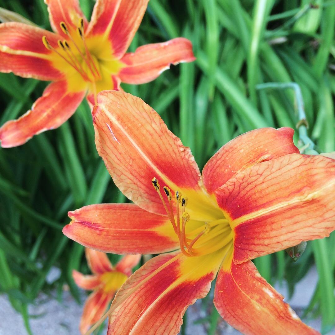 Common Daylily ( Hemerocallis fulva ) Flowers