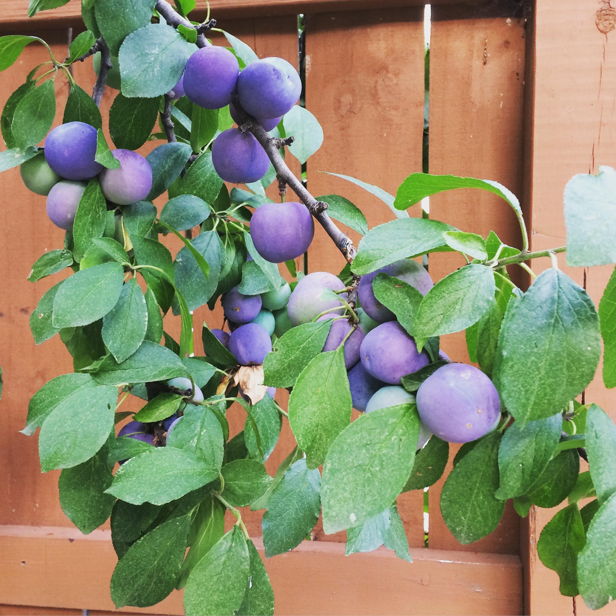 The Domesticated Plum ( Prunus Spp. )