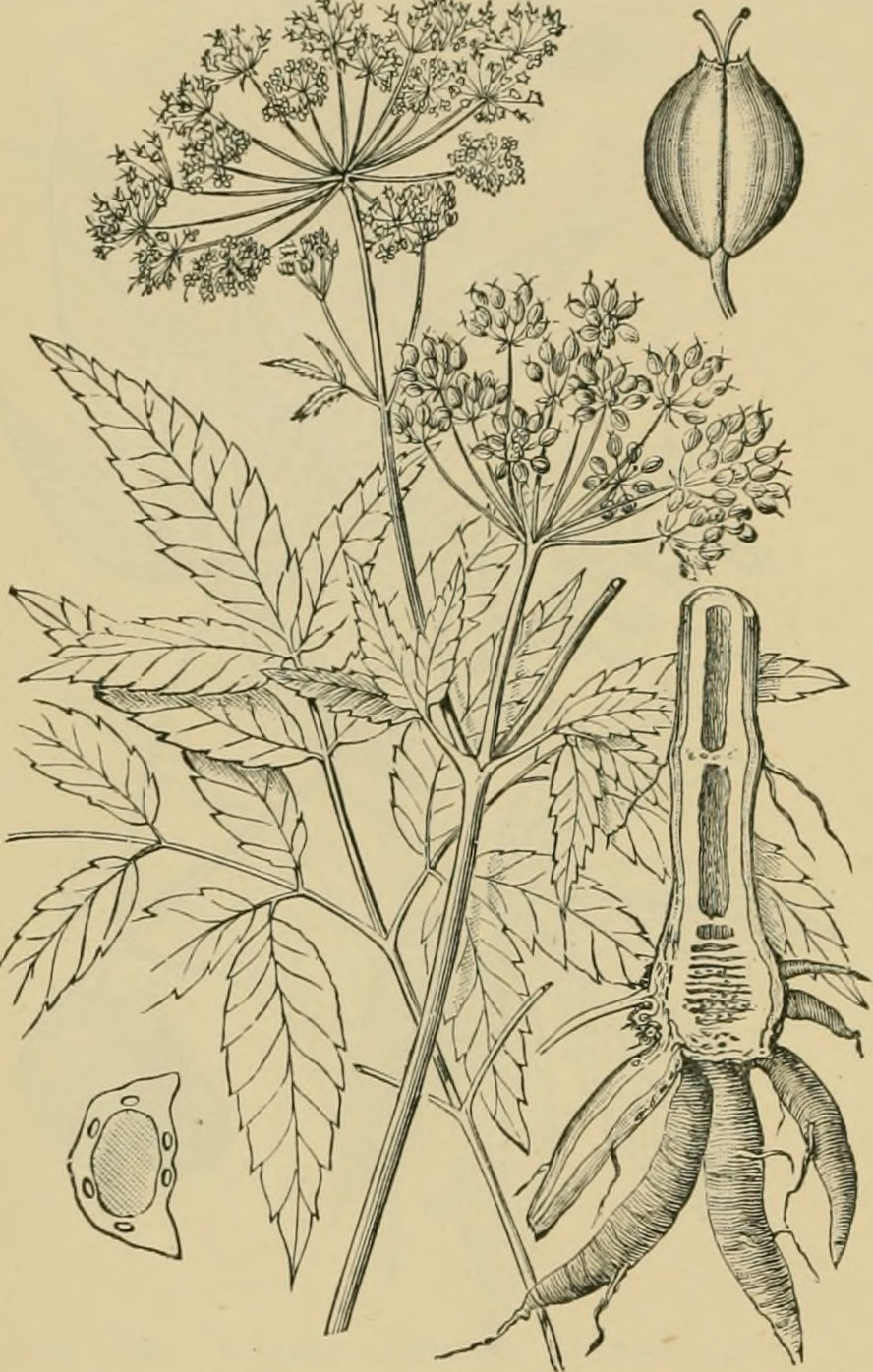 Water Hemlock, the most poisonous plant in North America